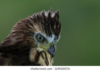 Crested Goshawk: is a bird of prey found in tropical Asia with short broad wings, long tail and can be found on bare branches of tall trees resting in the late afternoon.