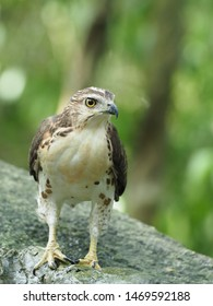 Crested Goshawk in the jungle