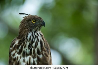 Crested Hawk-eagle wandering in Kabini wildlife sanctuary