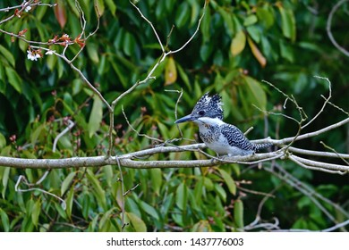 Crested kingfisher (Yamasemi) is relaxing on the branch of the wild cherry blossoms