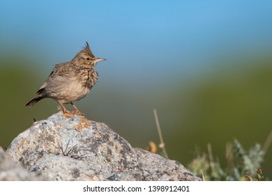 Crested lark Algarve Portugal closeup portrait