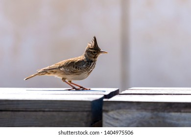 Crested Lark or Galerida cristata bird