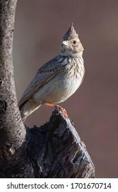 Crested lark (Galerida cristata) Malaga, Spain
