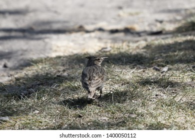A crested lark (Galerida cristata) on grassland  with shadows.
