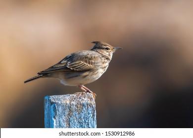 Crested lark, Galerida cristata.  The crested lark is a songbird.