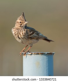 The Crested Lark (Galerida cristata) is a species of lark. Photo as taken in Ukraine