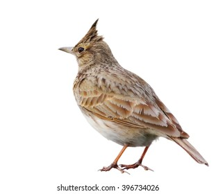 Crested Lark isolated on white background, Galerida cristata
