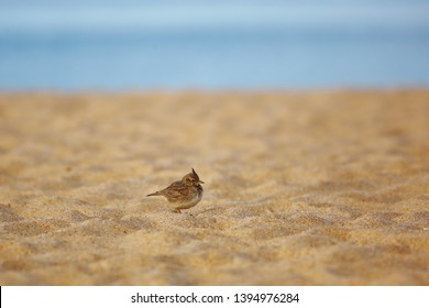 Crested lark on the beach