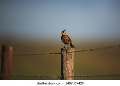 Crested lark on the fence