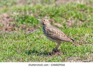 Crested lark on ground (Galerida cristata) Wildlife Close up