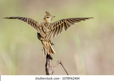 The Crested Lark is a species of lark distinguished from the other 81 species of lark by the crest of feathers that rise up in territorial or courtship displays and when singing.