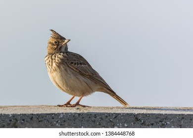 A Crested Lark Taking a Break and Proudly Waiting to be Photographed