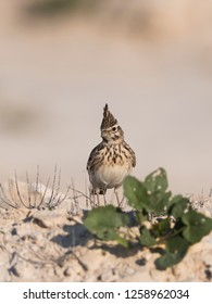 Crested lark wandering in the our skirts of Kabini forest. India.