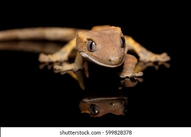 Crested New Caledonian gecko (Correlophus ciliatus) close-up on black background with reflection