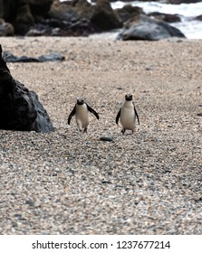 Crested New Zealand Penguins