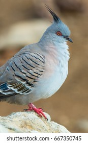 Crested pigeon (Ocyphaps lophotes) portrait. St Kilda, South Australia, Australia.