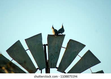 Crested pigeon on windmill, Quorn, South Australia