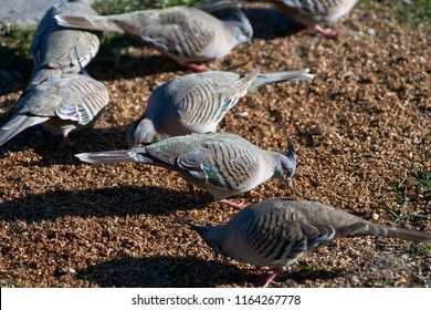 Crested pigeons(Ocyphaps lophotes), feeding on malted grain; in an Australian caravan park.  Sometimes referred to as Topknot pigeons, these grey flocking birds are widespread throughout Australia.