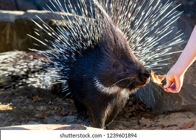 Crested porcupine or Hystrix cristata or African porcupine