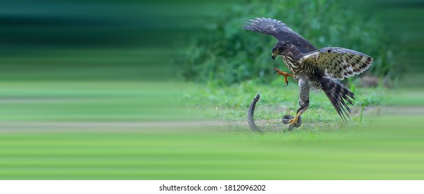 Crested Serpent Eagle catches snakes in the forest