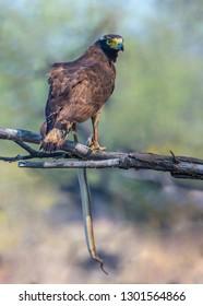 Crested Serpent Eagle with snake hunt