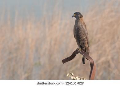 Crested Serpent Eagle (Spilornis cheela) - Gir National Park