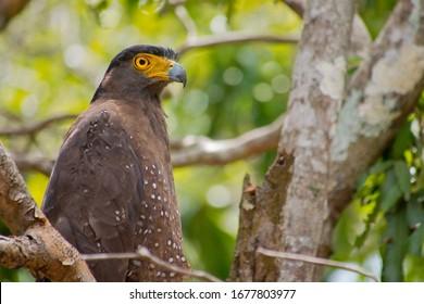 Crested Serpent Eagle, Spilornis cheela, Wilpattu National Park, Sri Lanka, Asia