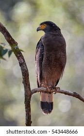 Crested serpent eagle,Spilornis cheela. Sri lankan eagle, perched on branch. Vertical photo, wildlife photography. Wilpattu national park, Sri Lanka.