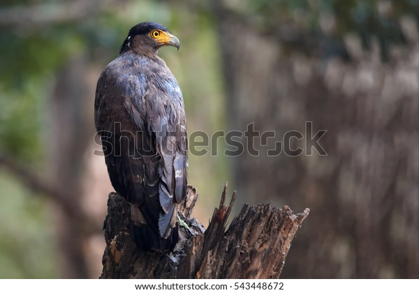 Crested serpent eagle,Spilornis cheela. Sri lankan eagle, perched on trunk in typical forest environment, looking for prey. Wildlife photography. Wilpattu national park, Sri Lanka. Sri Lanka wildlife.