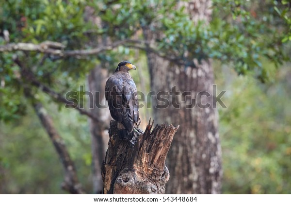Crested serpent eagle,Spilornis cheela. Sri lankan eagle, perched on trunk in typical forest environment, looking for prey. Wildlife photography. Wilpattu national park, Sri Lanka.
