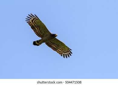 Crested serpent-eagle flying in the nature.