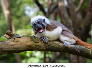 Crested Tamarin or monkey pinch, or Oedipus marmoset. Edipov Tamarin is a unique species of tamarins living in South America. Oedipus Tamarin leads a day, arboreal lifestyle.