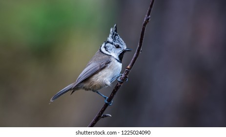 The Crested Tit (Parus cristatus) perching on the twig with a nice defocused background.