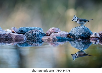 The Crested Tit (Parus cristatus) perching on the stone reflected on the watersurface of the pond and with a nice defocused background.