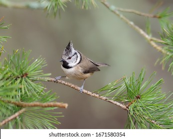 Crested tit, Parus cristatus, single bird on branch, Scotland, March 2020