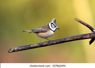 crested tit sitting on a branch, Netherlands