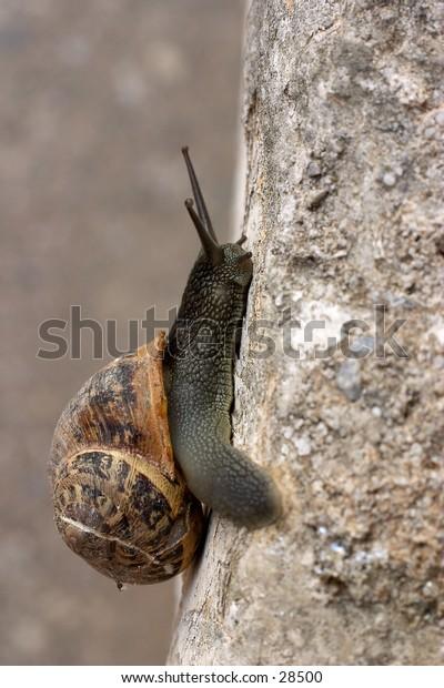 A Cretan edible snail heading up a wall.