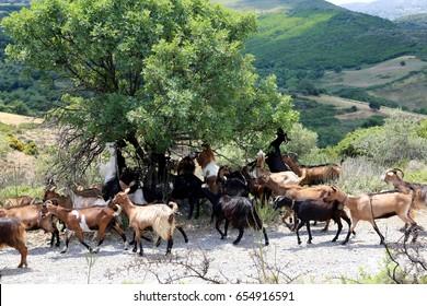 Cretan goats in the mountains of Crete near Plakias