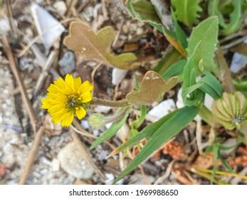 Cretanweed or scaly hawkbit plant, Hedypnois rhagadioloides, growing in Arousa Island, Galicia, Spain