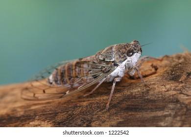 Crete / Cicada