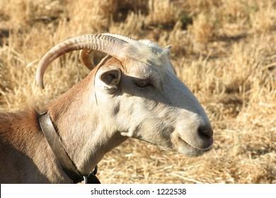 Crete / Goat