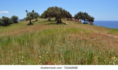 Crete, Greece Meadow with Olive Trees in Spring with Wildflowers and the sea behind.