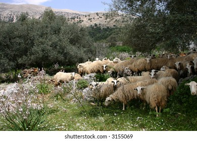 Crete sheeps in the midday