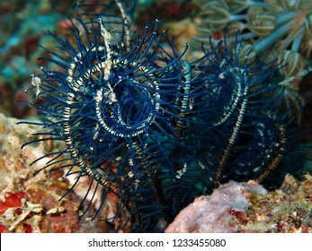 Crevice feather sea star rolled up