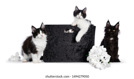 Crew of 4 black and white Maine Coon cat kittens, sitting in and beside a black velvet bag and fake hortensia flower. All looking straight at camera with yellow / golden eyes. Isolated on white bg.
