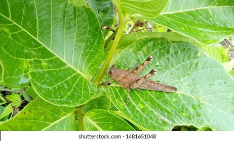 Cricket Insect Crickets, of the family Gryllidae, are insects related to bush crickets, and, more distantly, to grasshoppers. The Gryllidae have mainly cylindrical bodies, round heads, and long antenn