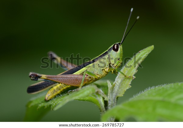 Cricket insect on the leaf