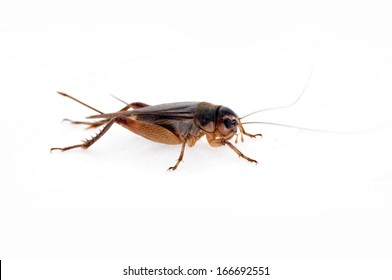 Cricket on a white background, close-up pictures
