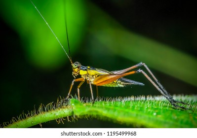Crickets, family Gryllidae insects related to grasshoppers and katydids. They have somewhat flattened bodies and long antennae. Crickets are known for their chirp by rubbing their wings or legs