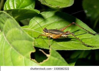 Crickets, of the family Gryllidae, are insects related to bush crickets, and, more distantly, to grasshoppers. The Gryllidae have mainly cylindrical bodies, round heads, and long antennae.